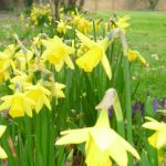 Spring Daffs at Magnolia Lodge