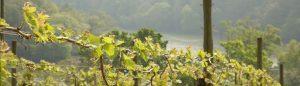 Sharphams Vineyard